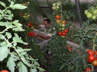 토마토 밭에서 작업하는 정원 담당 형제