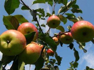 사과 수확